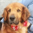 We've never seen a dog quite like Maverick! This one of a kind 6 year-old Shepherd/Basset Hound mix male has the short legs and long […]