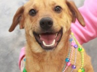 This cutie with the bright smile is Mimi, a 2 year-old Beagle/Mountain Cur mix girl with a short tail. She found herself homeless at a […]