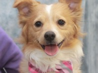 They just don't get much cuter than Oscar, a 1 year-old Sheltie/Pomeranian mix (or at least that's our best guess) with a beautiful curly coat […]