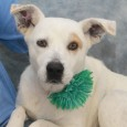This is one great dog! Polar Bear is a 5 year-old All-American mutt whose breed mix is anyone's guess. There might be some Lab in […]