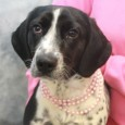 Looking for an active dog who will be a great walking, jogging, or hiking buddy? That's our Susie, a 2 year-old, 23 pound Pointer/Beagle mix female who's got lots of energy and a sense of adventure. She came to us […]