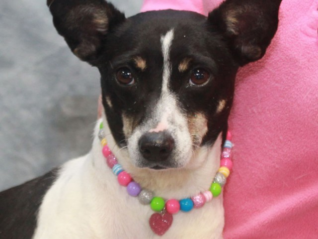 Sydney is a sweet and loving 1-2 year-old Rat Terrier mix female who had a rough start in life but is now ready to make […]