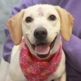 Meet Tigger, a very friendly and outgoing 1.5 year-old Beagle mix female who has never met a stranger. She is a friend to all dogs […]