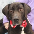 If you love Labs,  you're going to love Titus, a 2 year-old Lab mix who still has plenty of puppy. He's a good looking boy […]