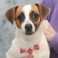 Looking to add some spice to your life? Then you ought to meet Trinity, a 1 year-old Jack Russell Terrier/Doxie mix female whose spunk and […]