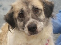 Waffles is a very kind and gentle 5 year-old Collie mix female who may have Great Pyrenees in her family tree too although she only […]