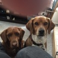 We adopted Cassidy and Franklin one year ago today. They have brought us so much joy since the passing of our beloved Coco. Cassidy is […]