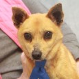 Alistair is a bright-eyed and alert 5 year-old Chihuahua mix male who came into a rural county dog shelter as a stray and made the trip to Canine Lifeline so he could take his time finding a great new home. […]