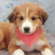 Annie is a beautiful 3 month-old Bearded Collie/Great Pyrenees mix female who came into a shelter with her sister Abby and mom Sandy. From there, […]