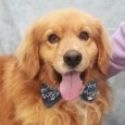 Biscuit is a gorgeous 4 year-old boy who looks like he might be a mix of Golden Retriever and Nova Scotia Duck Tolling Retriever given that he only weighs about 50 pounds and is on the shorter, stockier side. He […]