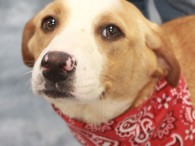Butterscotch is a very sweet 7-8 month-old Lab/Mountain Cur mix female who found herself homeless at a rural county dog shelter and made the trip to Canine Lifeline so she would have more time to find the perfect new home. […]