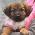 Sweet Callie is a 3-4 month-old Collie/Shepherd mix female who was found alongside a rural road with her brother Sherman. Fortunately, they were picked up […]