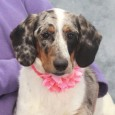 Looking for a dog who's sure to turn lots of heads when you're out for a walk? That's our Carlie, a 1 year-old Basset Hound/Aussie mix who is truly one in a million! Not only is she a real beauty […]