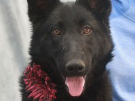 This gorgeous 9 month-old Shepherd mix female is Carolina. Her family could no longer keep her so she was shelter bound when a Good Samaritan […]