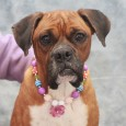 Calling all Boxer lovers! Cheyenne is a 2 year-old girl who looks like she had a rough life before landing at a rural county dog shelter. Coming into a shelter actually turned out to be a lucky break for her […]