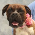 If you love Boxers, you're going to love Darla, a lovely 3 year-old girl with an impressive underbite. She was turned into an overcrowded county […]