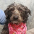 Garbo is a shy but very sweet 1-2 year-old Terrier mix female who was turned into a county dog shelter with her siblings Gretta, Tango, […]