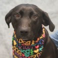 Gilda is a lovable 2 year-old Lab mix female with an outstanding disposition. Hard to believe that she was found as a stray and not claimed at the local shelter. Gilda is not letting having to start over in a […]