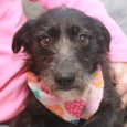 Gretta is a shy but sweet 1-2 year-old Terrier mix female who was turned into a county dog shelter with her siblings Garbo, Tango, and […]