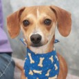 This delightful, camera-friendly little guy is Huckleberry, a 1 year-old Chihuahua/Doxie mix neutered male with a sweet and loving disposition. He came to us from an overcrowded county dog shelter so we have no history on his previous life but […]