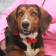 Marty is a very charming 4 year-old Basset Hound mix male. Although he showed his serious side to the camera, this fun-loving guy is a real clown and, when no cameras are around, has a big smile on his face […]
