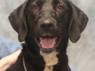 Meet Morgan, a happy-go-lucky and outgoing 1 year-old Lab mix female. She was adopted from a shelter as a puppy but recently returned to them […]