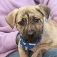 Newman is a spunky and very cute 3 month-old All-American mutt whose breed mix is anyone's guess. There may be some Mastiff, Boxer, or Mountain […]
