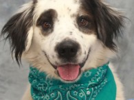 Percy is a very handsome 1 year-old Collie/Spaniel mix male with gorgeous markings and a very sweet disposition. He was surrendered to a county dog […]