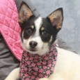 This little 7-8 month-old is absolutely adorable but her breed mix is anyone's guess. Shannon and her brother Dustin came into a rural county dog shelter together but we have no information on their previous lives or what their family […]