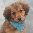 Sherman is a very cute 3-4 month-old Collie/Shepherd mix male who was found abandoned along a rural road with his sister Callie. Fortunately, a Good […]