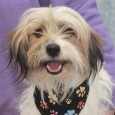 Meet Simon, a very polite 1.5 year-old boy who looks like he might be a long-legged mix of Shih Tzu and Poodle. He was surrendered to an overcrowded rural county dog shelter by his owner who could no longer care […]
