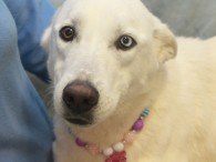 Skye is a beautiful 1 year-old White Shepherd/Husky mix female with one sparkling blue eye. She was an owner surrender at an overcrowded county dog shelter so made the trip to Canine Lifeline so she could relax in a foster […]