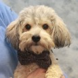 Smokey is an adorable, confident, and spunky 1.5 year-old Poodle mix male who was surrendered to an overcrowded county dog shelter by his owners who said that he was not friendly with visitors to their home. He is looking for […]