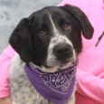 Looking for a big dog who thinks he's a lap dog? That's our Wilson, a 3 year-old Great Pyrenees/Pointer mix male who looks and acts […]