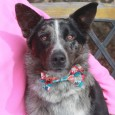 Zeke has it all—great looks and a fantastic disposition! This handsome 2 year-old Aussie/Cattledog mix male with the bobtail came to us from an overcrowded county dog shelter so we have no history on him. The shelter told us that […]