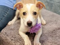 Ready for some puppy love? You're going to get plenty if you adopt our absolutely adorable little 5 month-old Jack Russell/Chihuahua mix girl named Amelia. This pipsqueak came into an overcrowded rural county dog shelter as an emaciated stray. She […]