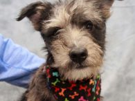This very handsome 6 month-old scruffy boy is Chase, a Schnauzer/Aussie mix male or at least that's our best guess. Chase has a unique look with his scruffy coat, bobtail, and very interesting markings. He'll turn a lot of heads […]