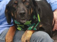 Jiggs is a very sweet and loving 5 year-old Lab/Hound mix neutered male who was adopted from a shelter a couple of years ago and recently returned there when his family could no longer keep him. We don't know what […]