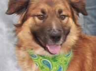 Handsome Leo is a 2-3 year-old boy who looks like a mix of Golden, Aussie, and German Shepherd. He came into a rural county dog shelter as a stray so we have no history on this boy. We were very […]