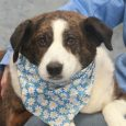 This poor girl has had her whole world turned upside down and is hoping someone will notice her and give her a second chance. Lucie is a 5-6 year-old Collie mix female who was surrendered to an overcrowded county dog […]