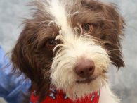 Wilson is an adorable 7 month-old Shih Tzu/Beagle mix male with a bobtail who's got plenty of personality and spunk to go with his good looks. This little guy was purchased from a pet store as a puppy but his […]