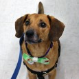 Eddie is a friendly and outgoing 6 year-old Beagle/Doxie mix male who was adopted from us 5 years ago along with his sister Emily. They were recently returned because their family's circumstances had changed and they were no longer able […]