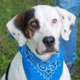 Meet Buckeye, a handsome 4 year-old Basset Hound/Dalmatian mix (or at least that's our best guess) who was adopted from us about three years ago and returned to us last summer because his family could no longer keep him. Buckeye […]