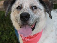 This beautiful 5 year-old Great Pyrenees/Cattledog mix female was adopted from us a few years ago but returned  to us last year because she just loved her family too much. She wasn't comfortable with visitors coming into her home and […]