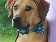 Here's Austin! This goofy 1.5 year-old Lab/Shepherd mix boy was adopted from a shelter as a puppy but returned at 9 months of age as his family was expecting a baby and no longer wanted him. Although Austin has a […]