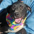 Caleb is a very sweet and loving 10 month-old Lab mix male who was found as a stray as a puppy in KY and kept for several months in an outdoor pen there. His owner realized this was no life […]