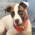 Chance is a very handsome 1.5 year-old Boxer/Hound mix male with a winning smile and a great disposition. Unfortunately, he lost his home before Christmas and was surrendered to an overcrowded rural county dog shelter by his owner. Chance has […]