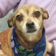 Meet Corky, a 7 year-old Chihuahua/Doxie mix male who was surrendered to a shelter from a home in which there were too many dogs. His owners had to move in with other family members and the dogs were relegated to […]