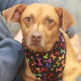 Lovely Lacey is a very sweet and kind 2 year-old Beagle/Terrier mix girl who came to us from a rural county dog shelter about a week before she was due to deliver pups. Upon arrival, she went to a foster […]