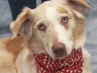 LADY IS NOW HEARTWORM NEGATIVE! Lady is a gorgeous 6 year-old Aussie who was surrendered to a shelter by her family who was moving and didn't want to take her with them. She was terrified at the shelter so made […]